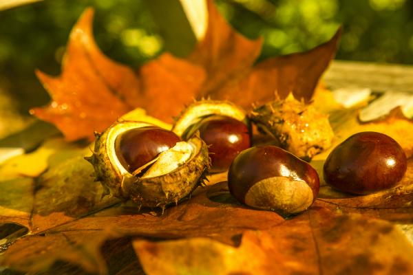 Bastelmaterialien wie Blätter, Kastanien oder Eicheln auffädeln, damit die Girlande Form annehmen kann